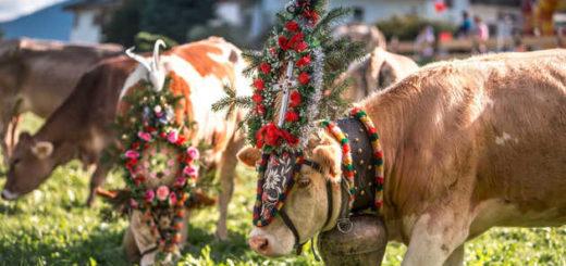 Bunt geschmückte Kühe am Spieljoch - Andi Frank - © Andi Frank
