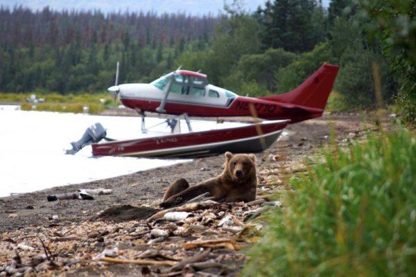 Alaska-Bär-und-Wasserflugzeug-in-Alaska