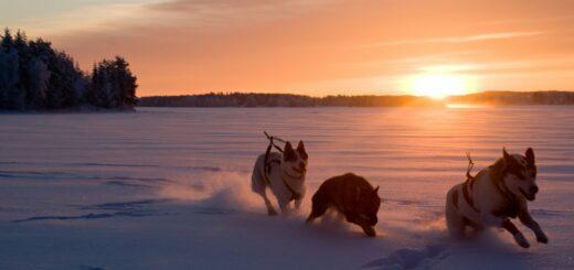 Schlittenhunde in Schwedisch Lappland 2021 | Erlebnisrundreisen.de