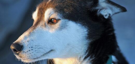 Abenteuerwoche Husky, Elch, Wolf & Co. Gruppenreise