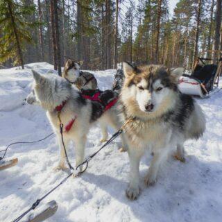 Hundeschlittenfahrt bei der Saija Lodge 2021 | Erlebnisrundreisen.de