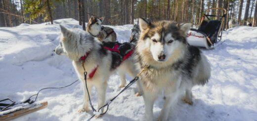 Hundeschlittenfahrt bei der Saija Lodge 2021   Erlebnisrundreisen.de