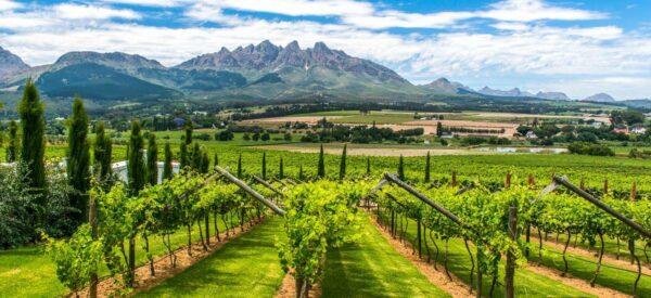 Weinanbau am Kap