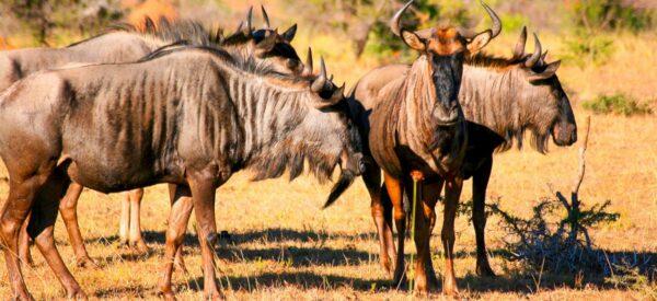 Gnu-Herde in der Savanne
