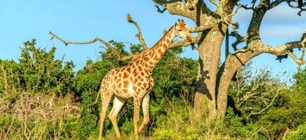 Giraffe durchstreift die Savanne