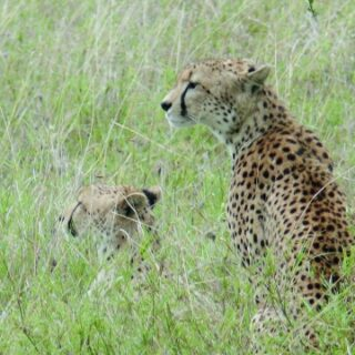 Geparde in der Serengeti 2021 | Erlebnisrundreisen.de
