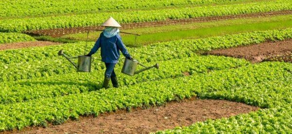 Bewässerung auf Vietnamesisch