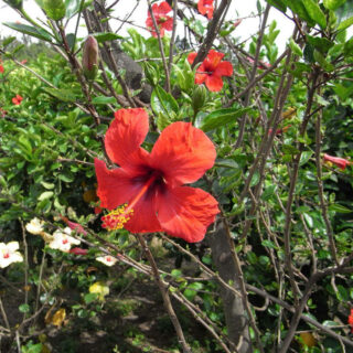 Hibiskus-Blüten auf Stromboli - Rainer Duddek