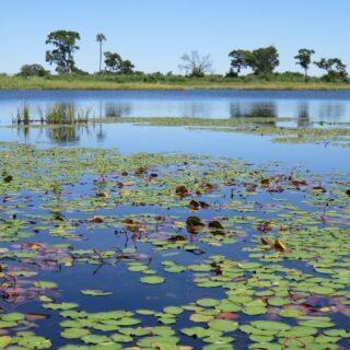 Botswana-Okavango-Delta-Mokoro-Ausflug-Seerosen 2021   Erlebnisrundreisen.de